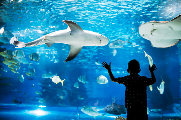 Child pressed against aquarium fish tank glass looking at sharks and stingrays.
