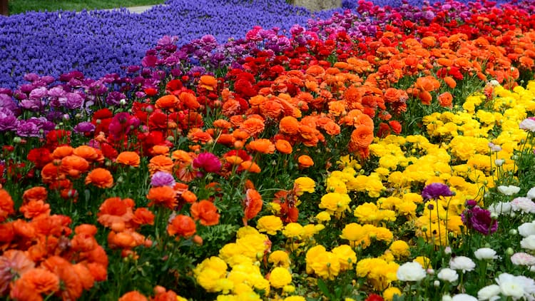 A field of flowers stretching into the distance in rainbow order, from yellow to purple