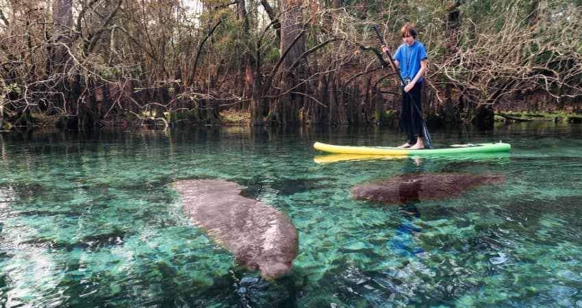 a teen paddleboards on a river with manatees