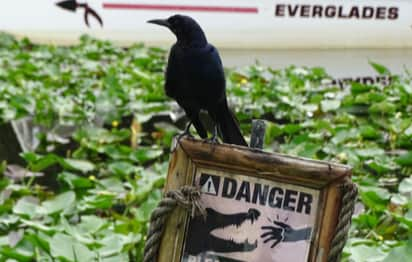 """A crow perched on a """"danger"""" sign"""